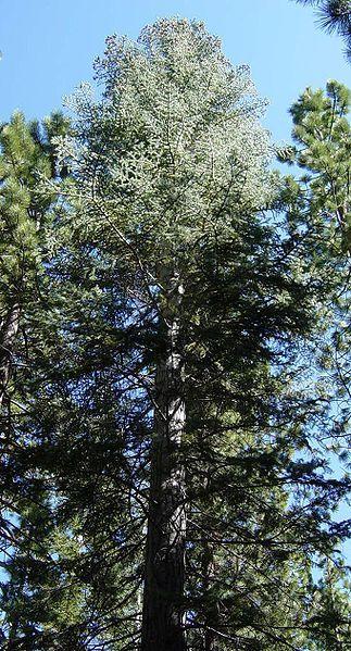 Abies Concolor, Abeto del Colorado