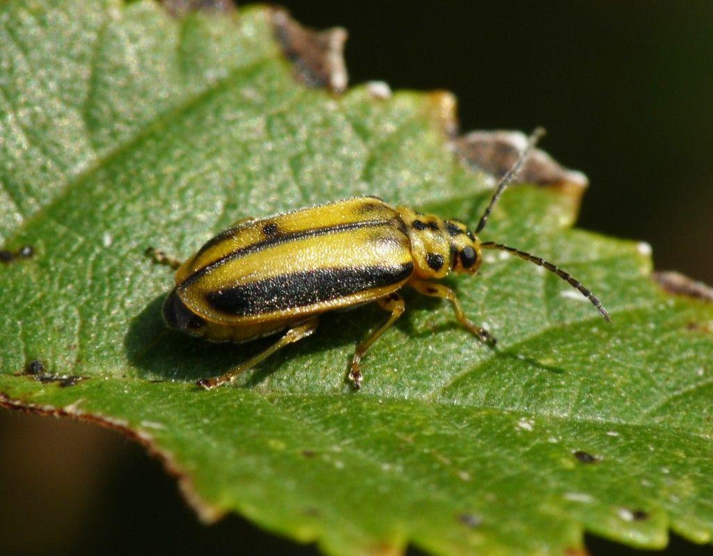 escarabajo del olmo galeruca
