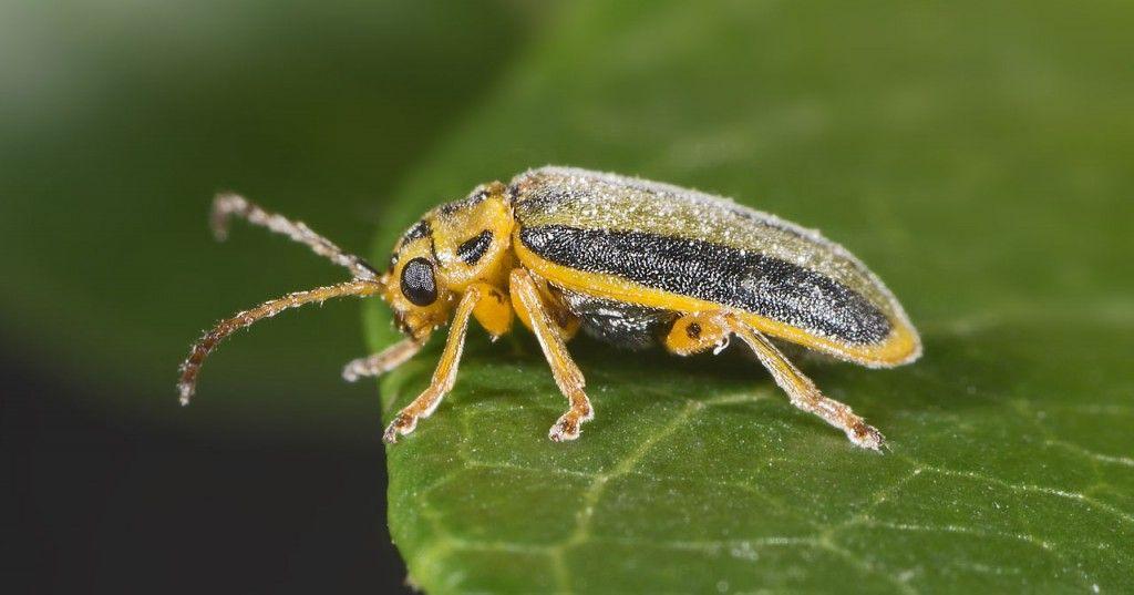 escarabajo del olmo galeruca del olmo