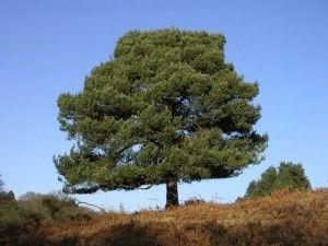 Poda de pino poda y jard n for Tipos de pinos para jardin fotos