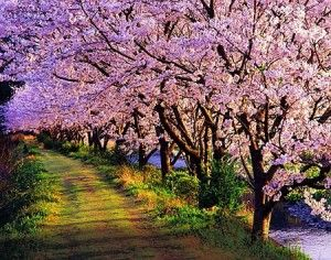 Cerezo Japonés, Prunnus Sato-zakura, Prunnus serrulata, Sakura