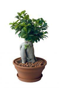 ficus retusa plantas de interior